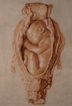 Red chalk drawing by Jan Van Rymsdyk for William Hunter's Gravid Uterus