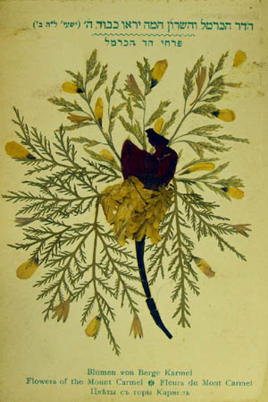 Pressed flowers from Mount Carmel