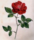 Rosa Semperflorens (Ever-blowing Rose)