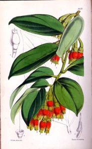 Fleshy-flowered thibaudia (plate 5450) from Curtis's Botanical Magazine