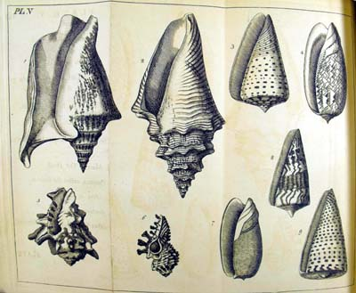 Plate from the the Elements of Conchology