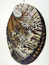 Shell from Conchology, or  a natural history of shells