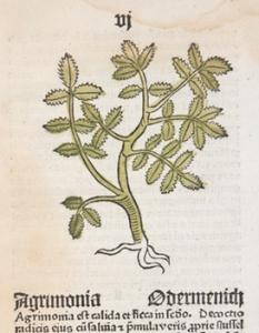 woodcut of agrimony