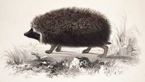 Smith_hedgehog_1849_dar05104