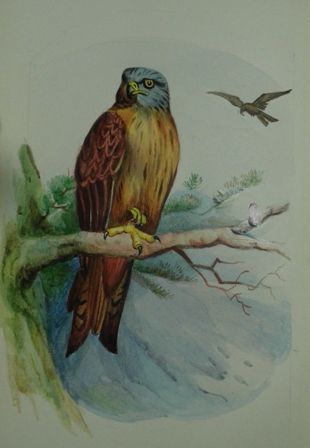 A Kite from Birds of the British Isles.
