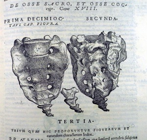 Sacrum and coccyx as depicted in the Fabrica (Sp Coll Bi6-a.5)