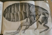 Flea from Hooke's 'Micrographia' Sp Coll Hunterian M.3.1