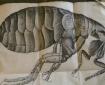 Flea from Hooke's 'Micrographia' Sp Coll Hunterian M.3.1