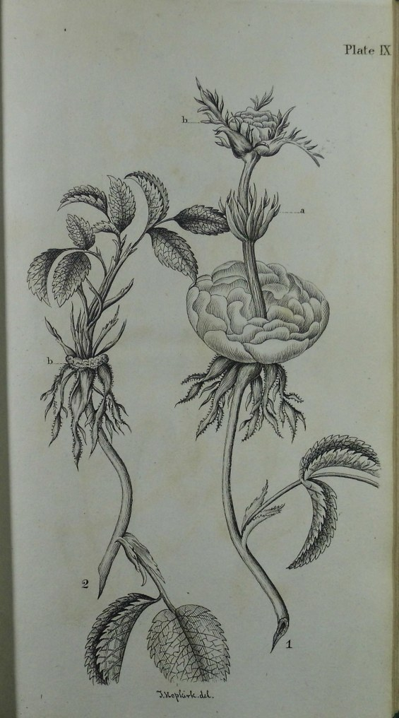 Botanic plate drawn by Thomas Hopkirk