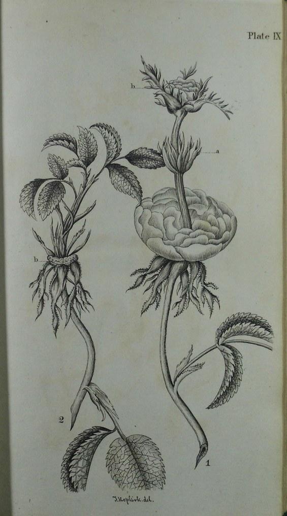 Botanic plate drawn by Thomas Hopkirk