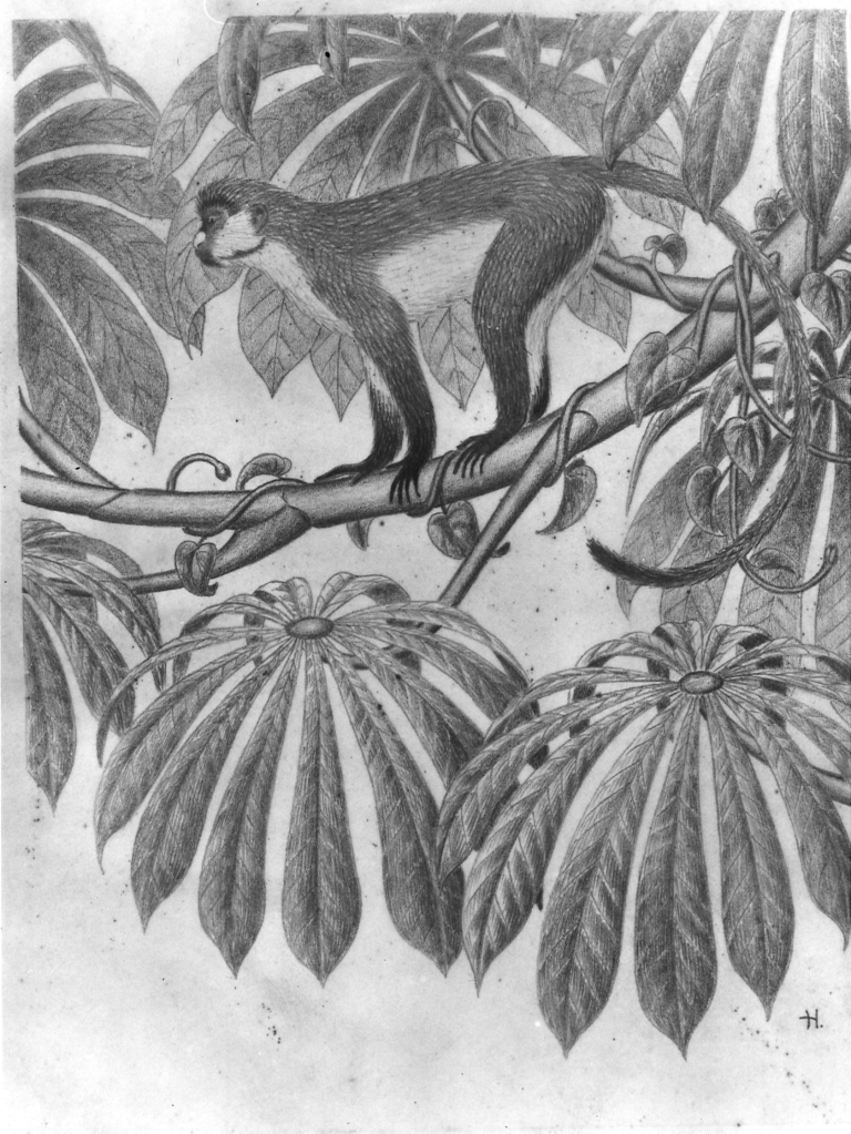 Sketch by Haddow of Ceropithecus Ascanius Schmidt Adult Male monkey, 1949 (GLAHA 42541)