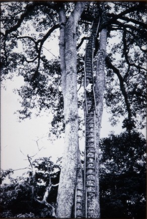 Person on a ladder leading up a tree to a platform high in the branches (DC68/80/49)